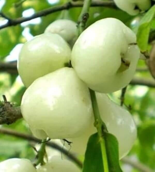 תפוח מלזיה / Wax Jambu / תפוח מים