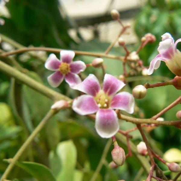 קרמבולה מתוקה / פרי הכוכב
