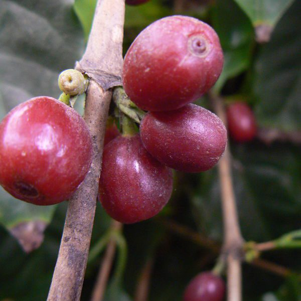 קפה ערביקה