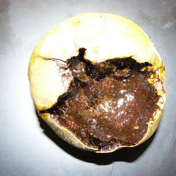 ספוטה שחורה / עץ השוקולד