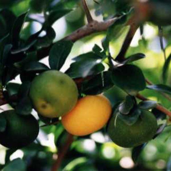 תפוח כפרי / תפוח קאי