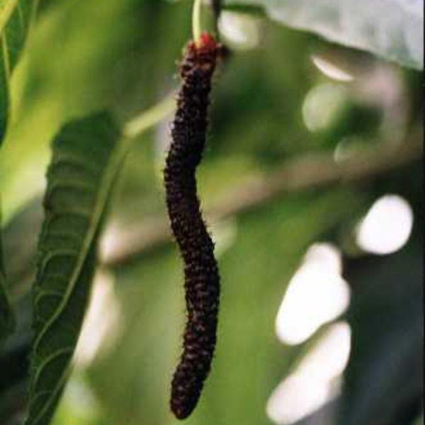 תות ארוך / אפגני / פקיסטני