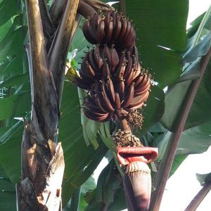 בננה אדומה