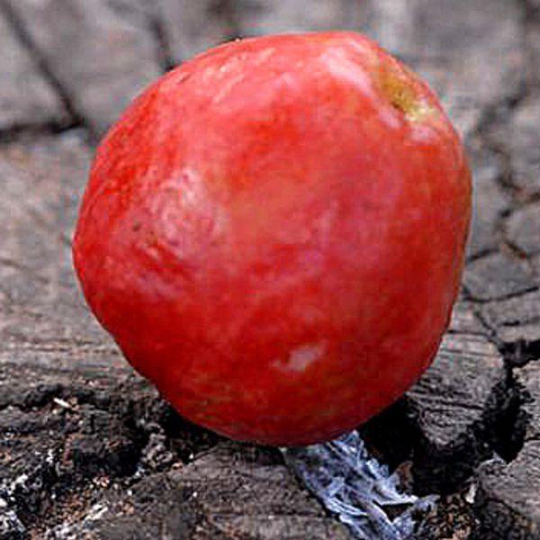 גויאבה תותית (גותית) אדומה