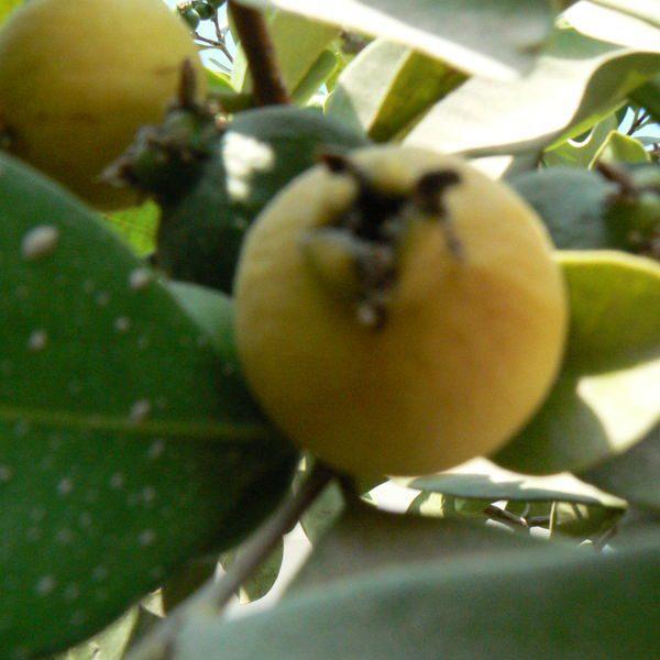 גויאבה תותית (גותית) צהובה