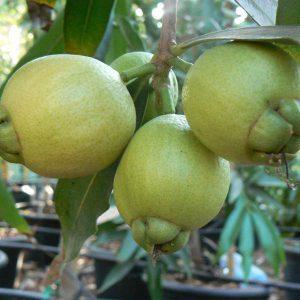 תפוח הורד