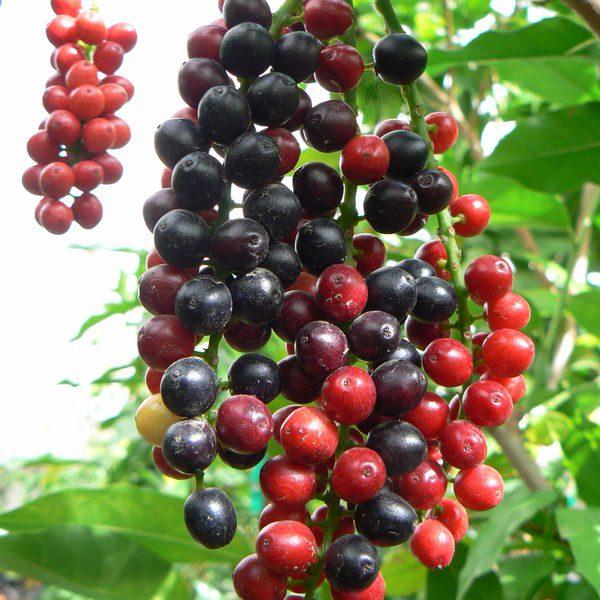 ביגניי עץ הסוכריות