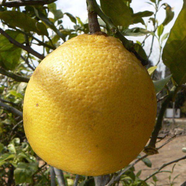 """ברגמוט / תפוז """"ארל גריי"""""""