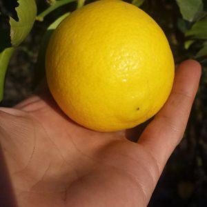 לימון מתוק