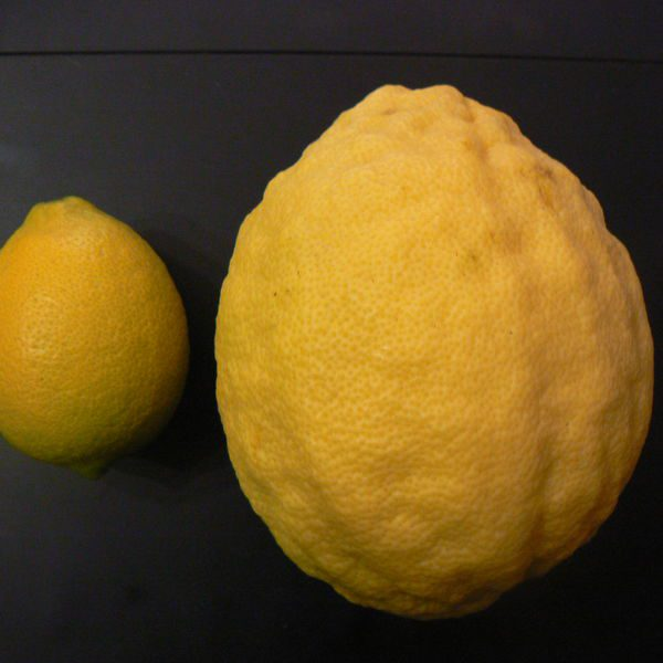 לימון פונדרוסה / לימון ענק
