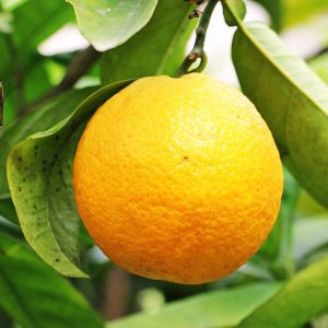 תפוז פרנסאווי / תפוז מתוק