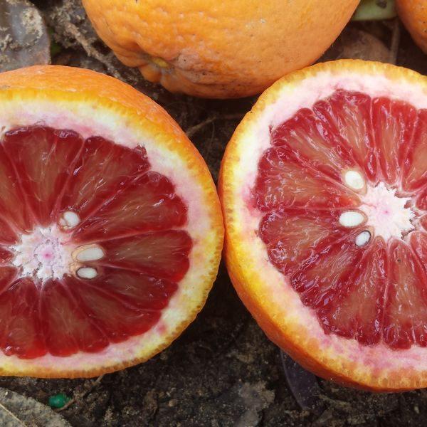 תפוז דם / שמוטי דם