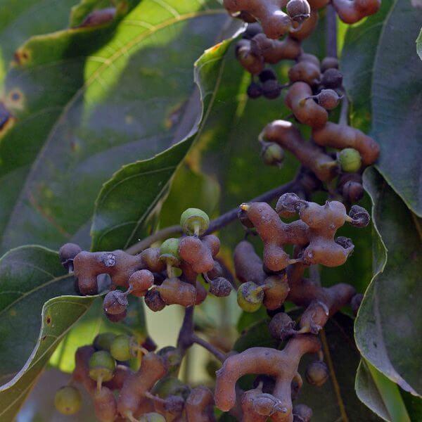 עץ צימוקים יפני / הובניה מתוקה