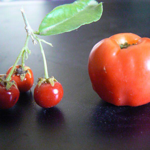אסרולה / אצרולה ננסית