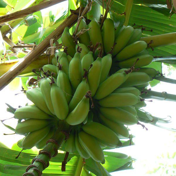 בננה סניוריטה / ליידיס פינגרס