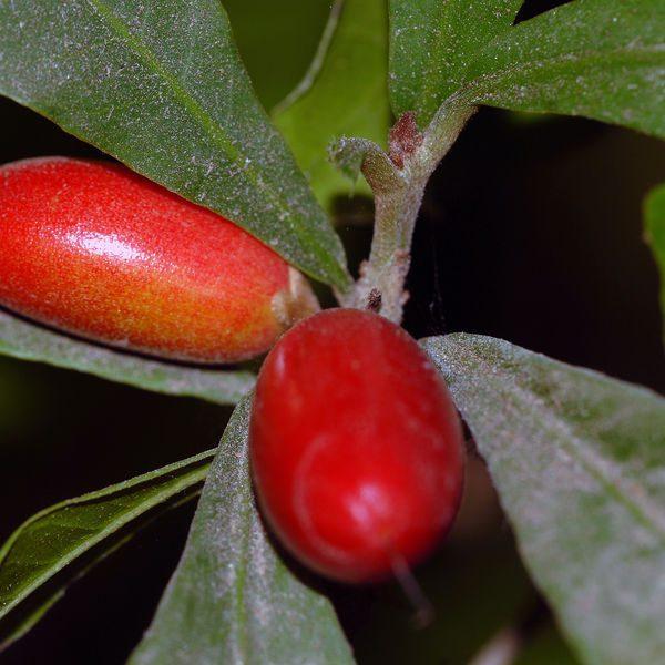 הפרי המכושף / פרי הפלא